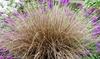 Carex Bronco-plant