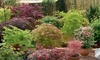 Japanese Maple Acer Trees - Up to 6 Plants with Optional Patio Pots