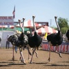 25% off Admission to The Chandler Chamber Ostrich Festival