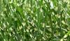 1 o 2 plantas miscanthus zebrinus