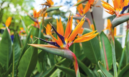 Strelitzia Bird Of Paradise -...