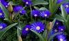 Anemone De Caen Flower Bulbs (100-, 200-, or 500-Pack): Anemone De Caen Flower Bulbs (100-, 200-, or 500-Pack) from Gardening Products 4 Less
