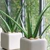 Echte Aloe