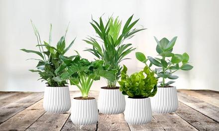 Pack de 5 plantes dépolluantes et purificatrices d'air 30-40 cm