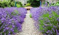 24, 48 oder 72 Pflanzen - Lavendel Hidcote und Munstead
