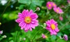 Three or Six Adorable Anemone Japanese Windflower Plants