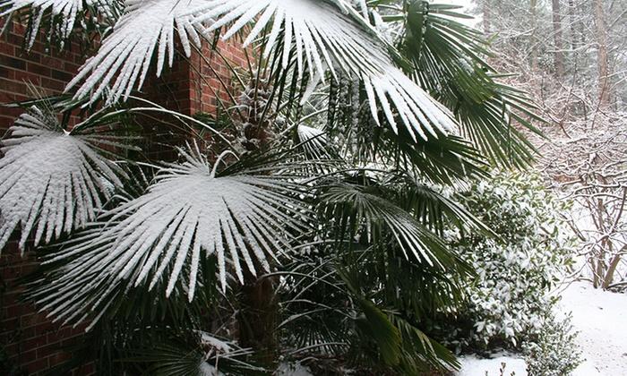 Palmiers r sistants au froid groupon - Palmier resistant au froid ...