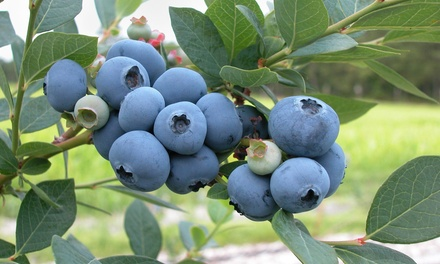 Three or Six Blueberry Plants in 9cm Pots with Optional Fertiliser