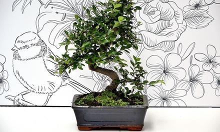 Bonsai olmo giapponese