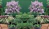 One or Two Dwarf Lilac Plants, 2-litre Pot