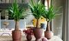 Planta XXL de yuca Elephantipes
