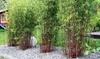 Three Red Bamboo Plants