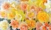 25 of 50 bloembollen Narcis 'Circus Sorbet'