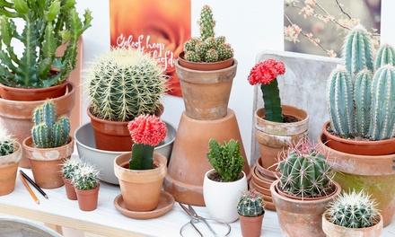 Three or Six Large Cactus Plants