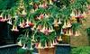 Lot de Brugmansia arborea tricolore