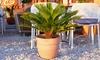 Palmiers Sagou