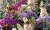 3er- oder 6er-Set Schmetterlingsflieder in Weiß, Pink und Lila