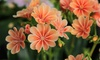 Three, Five or Nine Lewisia Elise Mixed Plants
