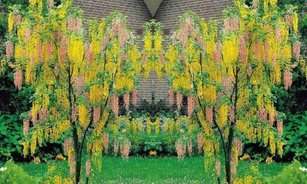 Adam's Laburnum (Laburnocytisus adamii) Young Tree with Optional Planter and Feed