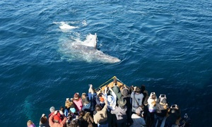 H&M Landing: Three-Hour Whale-Watching Tour for One, Two, or Four from H&M Landing (Up to 56% Off)