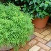 """Pre-Order Citronella Anti-Mosquito Plant in 4"""" Grow Pot"""
