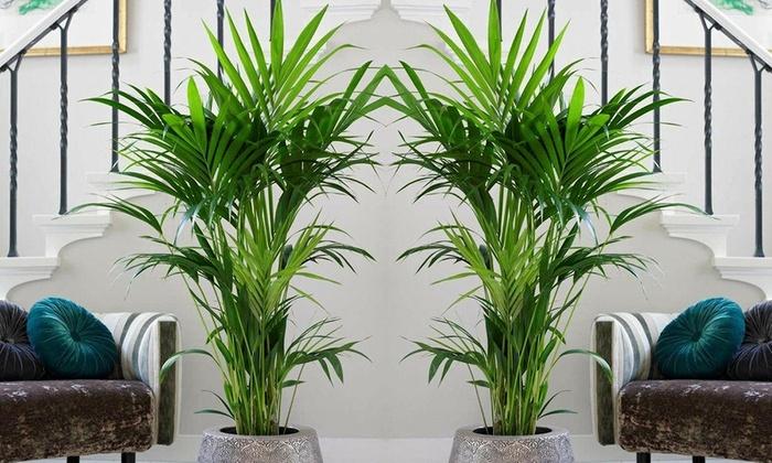 Big Pots Indoor Plants: 90-100cm Kentia Palm Tree