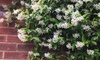 Jasmin-Pflanzen
