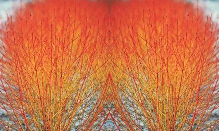 Cornus Winter Flame