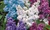 4 ou 8 Lilas doubles (bleu + rouge + lilas + blanc)