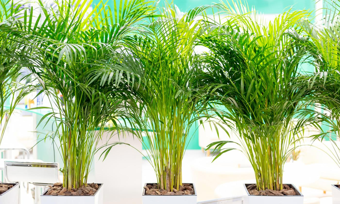 Set of Two Indoor Palms: 'Areca Palm' and 'Parlor Palm'