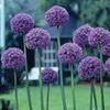 Allium Giant Gladiator Bulbs (3- or 6-Pack)