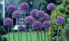 Allium Giant Gladiator Bulbs (3- or 6-Pack): Allium Giant Gladiator Bulbs (3- or 6-Pack)