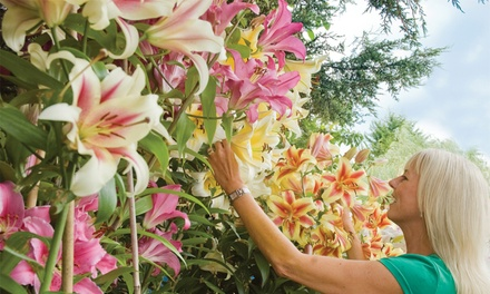 Giant Tree Lily Collection with 9, 18 or 27 Bulbs from £12.98 With Free Delivery
