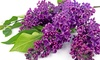 Common Lilac Shrub
