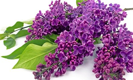 groupon daily deal - Common Lilac Shrub