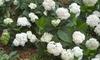 Hydrangea The Bride Endless Summer Plant