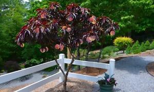 Terrasse und garten deals gutscheine groupon - Pfirsichbaum im garten ...