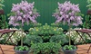 Dwarf Lilac Standard Tree - One or Two Plants in 2-litre Pot