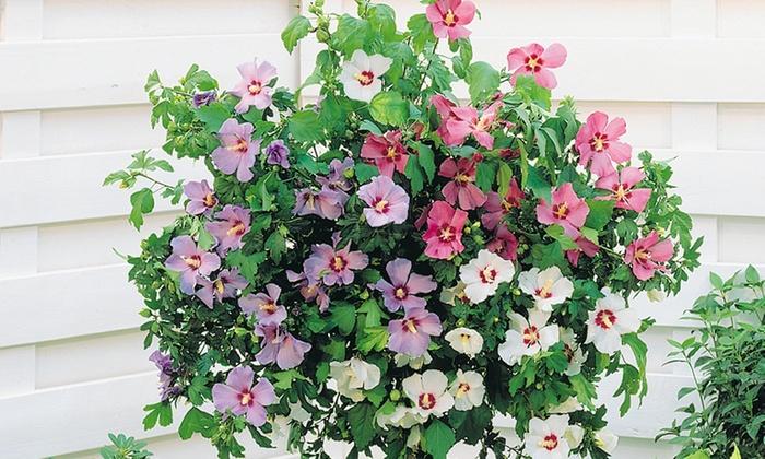 Hibiscus Tri Colour Bare Root Groupon Goods