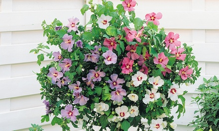 Hibiscus TriColour Standard One, Two or Four Plants from £11.99