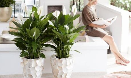 2 o 4 plantas Spathiphyllum XL