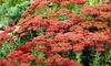 Garden Succulent Sedum Herbstfreude (Set of 3): Garden Succulent Sedum Herbstfreude (Set of 3)
