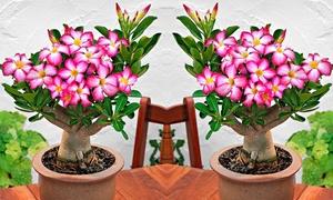 2 et 4 roses du desert 25-35cm