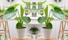 2 o 4 piante di Alocasia Cucullata