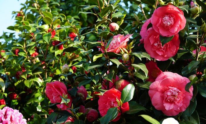 Jusqu'à 47% Arbustes de Camélia du Japon | Groupon