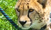 Up to 50% Off Cheetah Encounters at Wildlife Safari