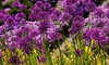 Allium Drumstick The Persian Onion Flower Bulbs (20-Pack): Allium Drumstick The Persian Onion Flower Bulbs (20-Pack)