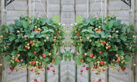 5, 10 or 20 Strawberry Just Add Cream Plants with Fertiliser and Optional Hanging Baskets