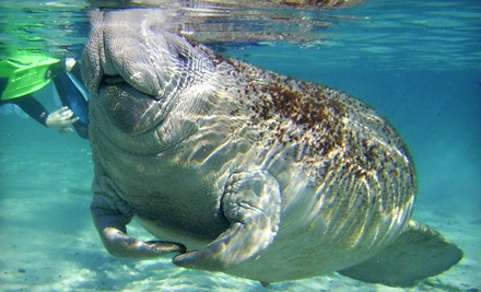 Snorkel with Manatees: Crystal River Dolphin Encounter Tour at 3:30PM - Snorkel with Manatees in Crystal River