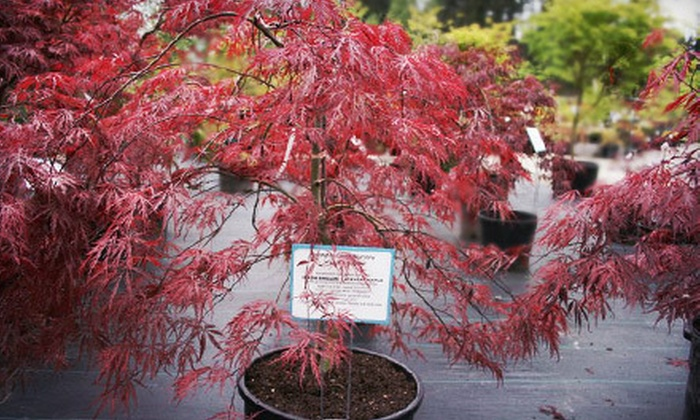 Covington Creek Nursery - Lake Morton-Berrydale: $15 for $30 Worth of Plants or Japanese Maple Tree at Covington Creek Nursery